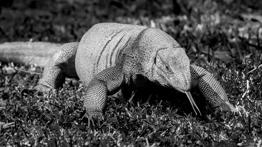 Reptile Animal Themes Animal Wildlife Animals In The Wild Close-up Day Grass Nature No People One Animal Outdoors Varan