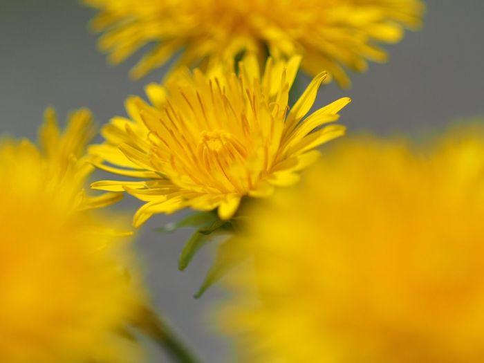 2018.05.05 #会津  Istagramにupしたのと ほぼ同じだけど、ピントの位置が違うヤツ。 会津 Flower Flowering Plant Plant Yellow Beauty In Nature Fragility Vulnerability