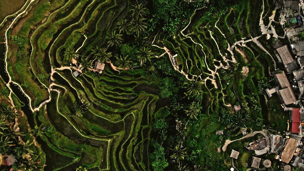 Nature Nature Photography Naturelovers Rice Terraces Ubud Bali INDONESIA Fromabove Terraced Field