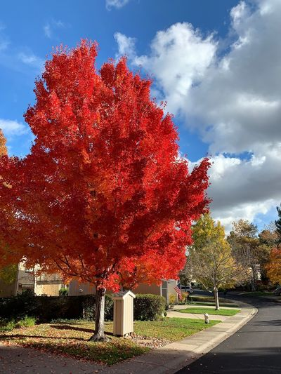 """Red, White And Blue"" Mimicking the colors of the American Flag in the background, nature reveals it own brand of red, white and blue on a 2018 Autumn day. Fall Colors Autumn colors American Flag Maple Tree Clouds Red White And Blue Red Sky Cloud - Sky Tree Nature Growth Beauty In Nature"
