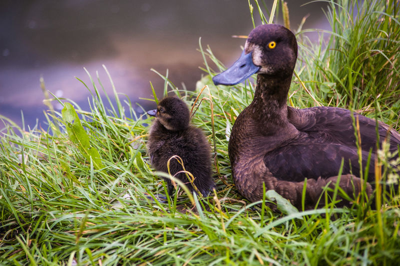 Reiherente mit Küken - duck with chicken Squatting Animal Family Animal Wildlife Animals In The Wild Beauty In Nature Close-up Duckling Grass No People Outdoors Reiherente Togetherness Young Animal Young Bird Best Shots Hofi Hofis Premium Collection Best Tiere Hofi