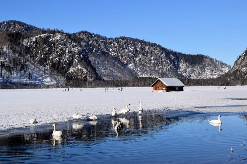 Scenic view of lake with swans against sky during winter