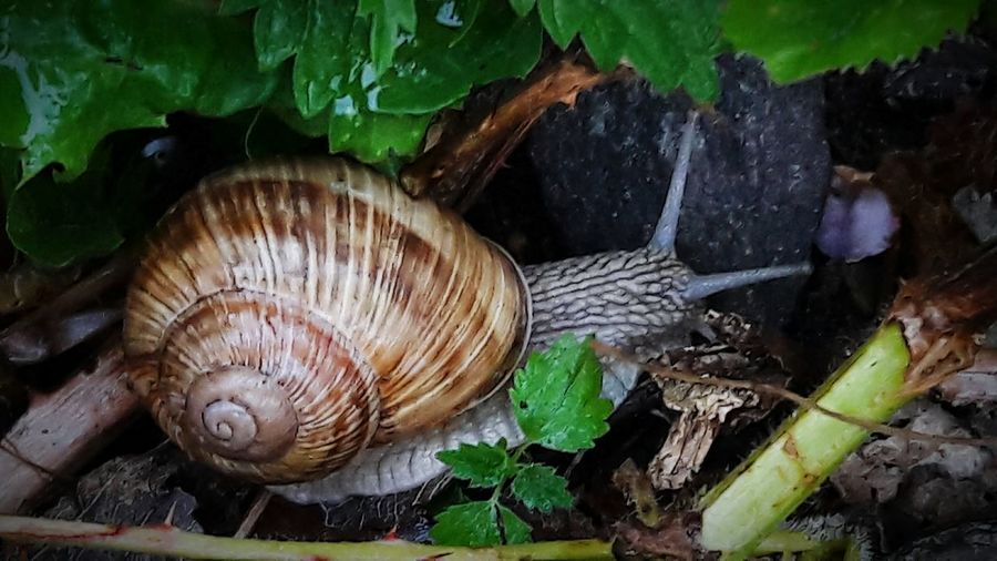 EyeEmNewHere First Eyeem Photo EyeEm Nature Lover Smartphonephotography Outdoors Forest Animal Wildlife Snail Collection Snail🐌 Water Snail Animal Themes Close-up Slow Animal Antenna Woods My Best Photo