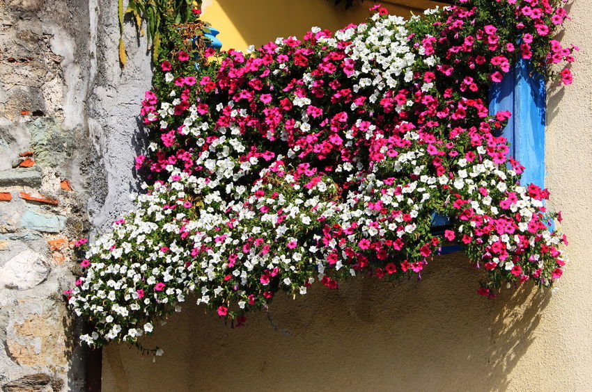 Slovenia Balcony Close-up Day Flowering Plant No People Outdoors Pink Color Plant Radovljica September 2018 Wall - Building Feature