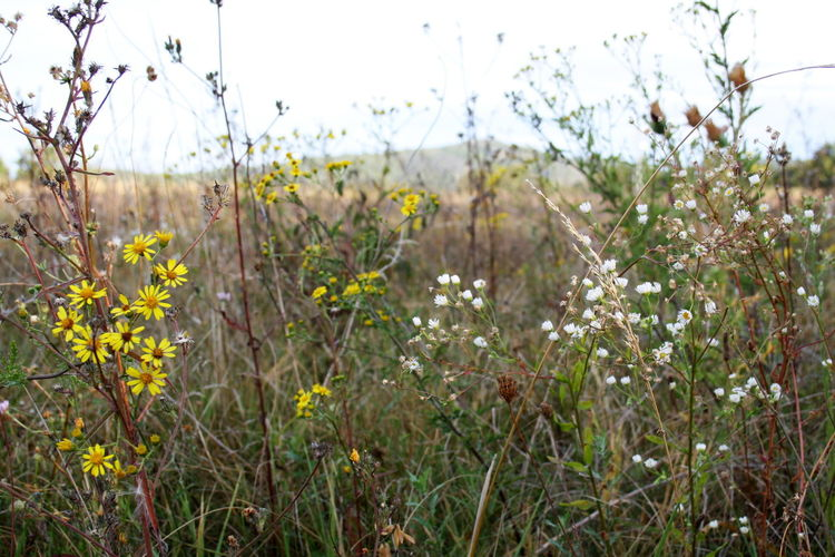 Wildflower meadow near Entrechaux Autumn Drôme Provençale Fance Late Summer Provence September Wildflower Meadow Beauty In Nature Blooming Day Field Flower Growth Meadow Nature No People Outdoors Plant Spätsommer  Tranquility Wildblumenwiese Wildflower Yellow