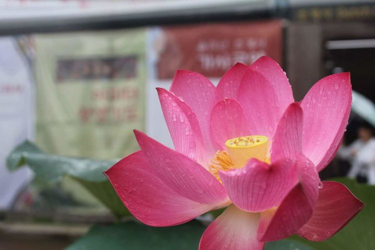 Pink Color Flower Petal No People Day Flower Head Close-up Freshness Nature Outdoors Beauty In Nature Fragility Rain