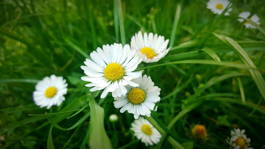 Flower Nature Beauty In Nature Growth White Color Fragility Daisy Flower Head Plant Freshness Yellow Close-up No People Outdoors Day