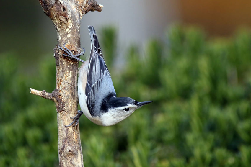 Nuthatch Animal Themes Animal Wildlife Animals In The Wild Bird Close-up Day EyeEm Nature Lover Focus On Foreground Nature No People Nuthatch One Animal Outdoors Perching Quick Tiny