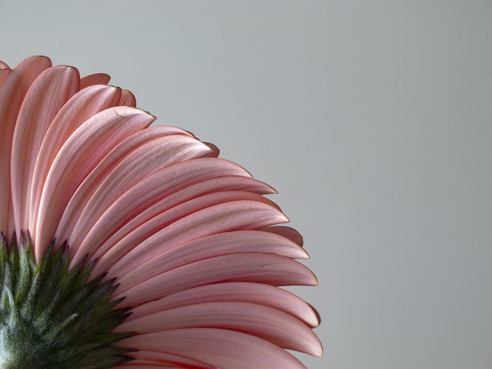 Pink gerbera flower petals photographed from below. Pink Petals Beauty In Nature Close-up Copy Space Day Flower Flower Head Flowering Plant Fragility Freshness Gerbera Gerbera Daisy Gerbera Flower Growth Indoors  Nature No People Pattern Petal Pink Color Plant Studio Shot Vulnerability  The Still Life Photographer - 2018 EyeEm Awards