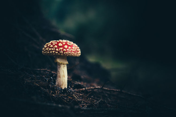 Mushroom Fungus Food Vegetable Close-up Growth Fly Agaric Mushroom Plant Red Toadstool Land Selective Focus Forest Nature No People Food And Drink Beauty In Nature Focus On Foreground Tree Day Outdoors Poisonous Autumn Mood