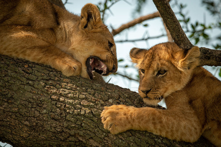 Lions cubs on branch of tree