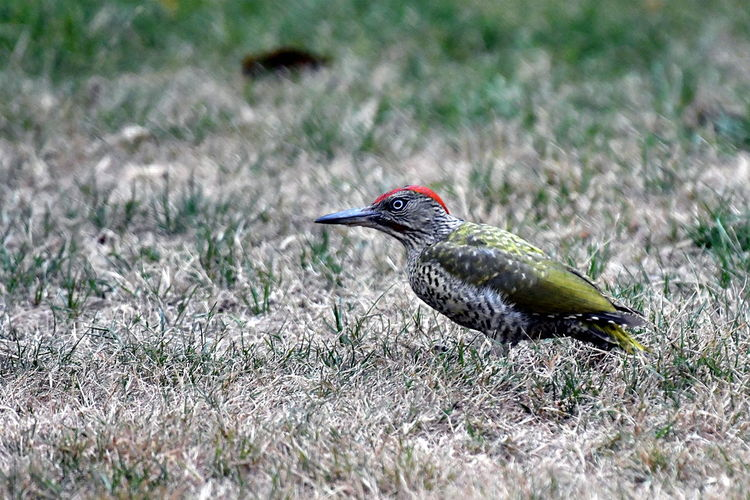 Animal Animal Themes Animal Wildlife Animals In The Wild Bird Close-up Day Field Focus On Foreground Grass Green Woodpecker Land Nature No People One Animal Perching Plant Selective Focus Side View Vertebrate Woodpecker Zoology