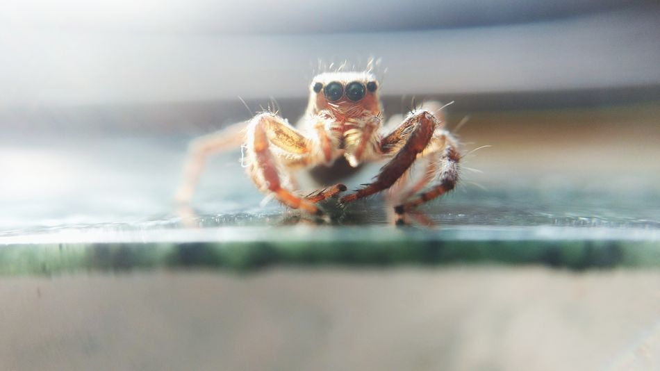 One Animal Spider Animal Wildlife Animals In The Wild Animal Themes No People Outdoors Day Close-up Nature Portrait Spider Monkey Spider Nature_collection Eyenaturelover Spider Web Jumping Spider EyeEmNewHere Rethink Things