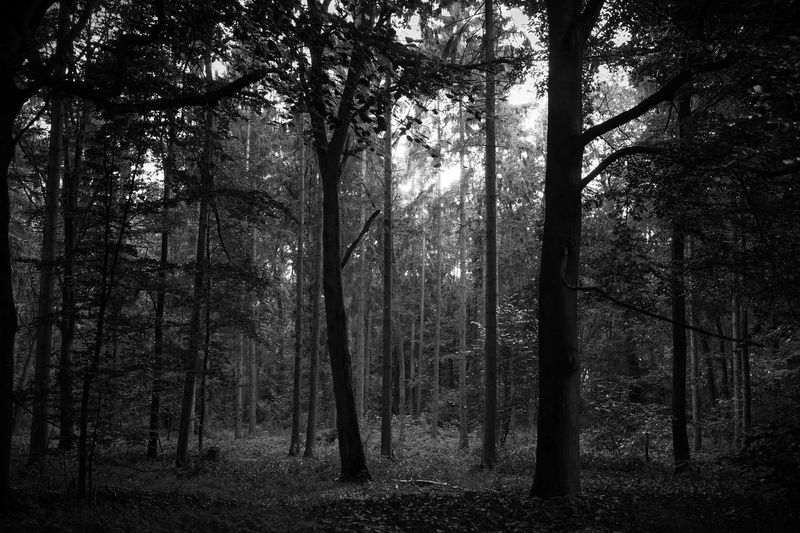 Beauty In Nature Black And White Bw Day Environment Forest Growth Land Landscape Nature No People Non-urban Scene Outdoors Plant Scenics - Nature Sunlight Tranquil Scene Tranquility Tree Tree Trunk Trunk WoodLand HUAWEI Photo Award: After Dark