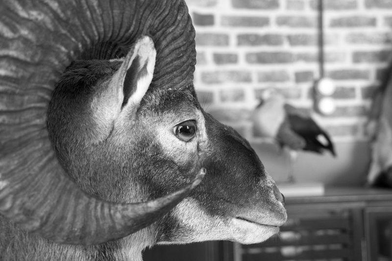 Animal Head  Animal Themes Close-up One Animal Stuffed Animal Stuffed Animals Taxidermist Taxidermy Taxidermy Art