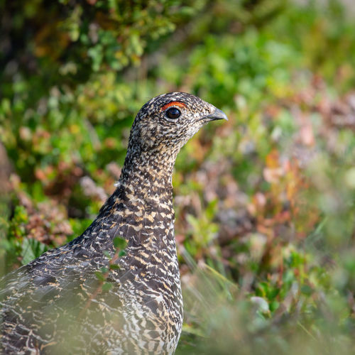 Grouse in