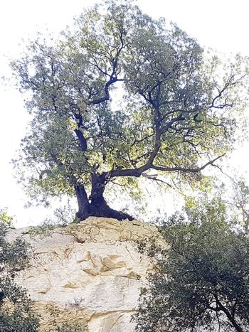 The Lovers's Tree - Holm Oak Tree