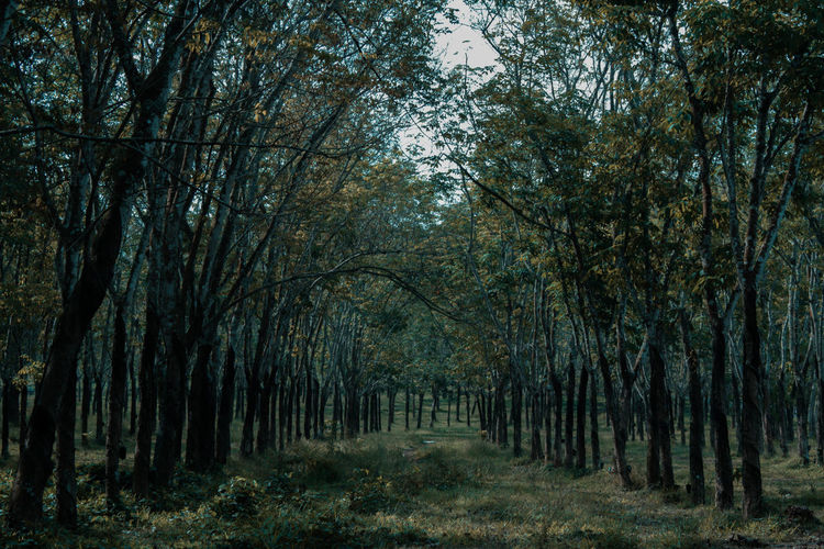 Rubber tree Salatiga 2018 2018EyeEmawards Canon Canonphotography Landscape Nature Photo Photography Photooftheday Rubber Tree Rubber Trees Shot Tranquility