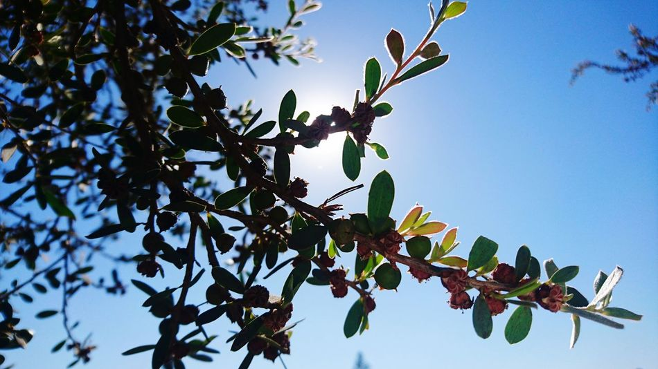 Branch Tree Growth Nature Close-up Leaf Fruit Sunlight Beauty In Nature No People Sunbeam Food Twig Plant Part Agriculture Sky Outdoors Day