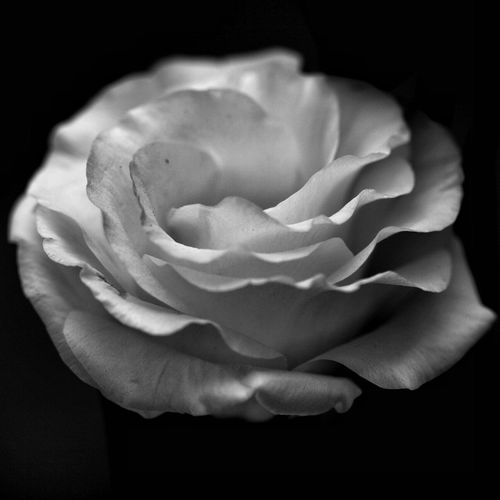 Flower Blackandwhite Black & White