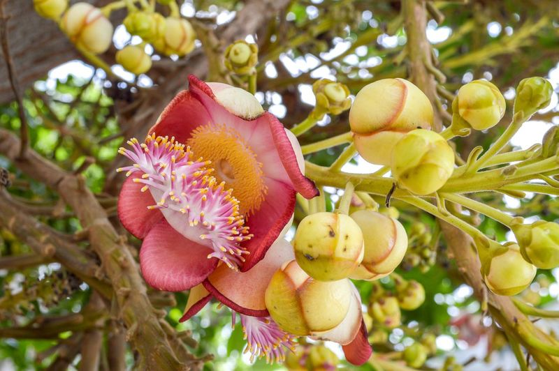 Beautiful Natural Nature Pink Plant Sakhuwan Shorea Robusta Tree Beauty In Nature Bloom Blooming Blossom Botany Branch Bud Close-up Day Flora Floral Flower Flower Head Focus On Foreground Fragility Freshness Garden Growth Low Angle View Nature No People Outdoor Outdoors Petal Plant Religiosa Sal Tree