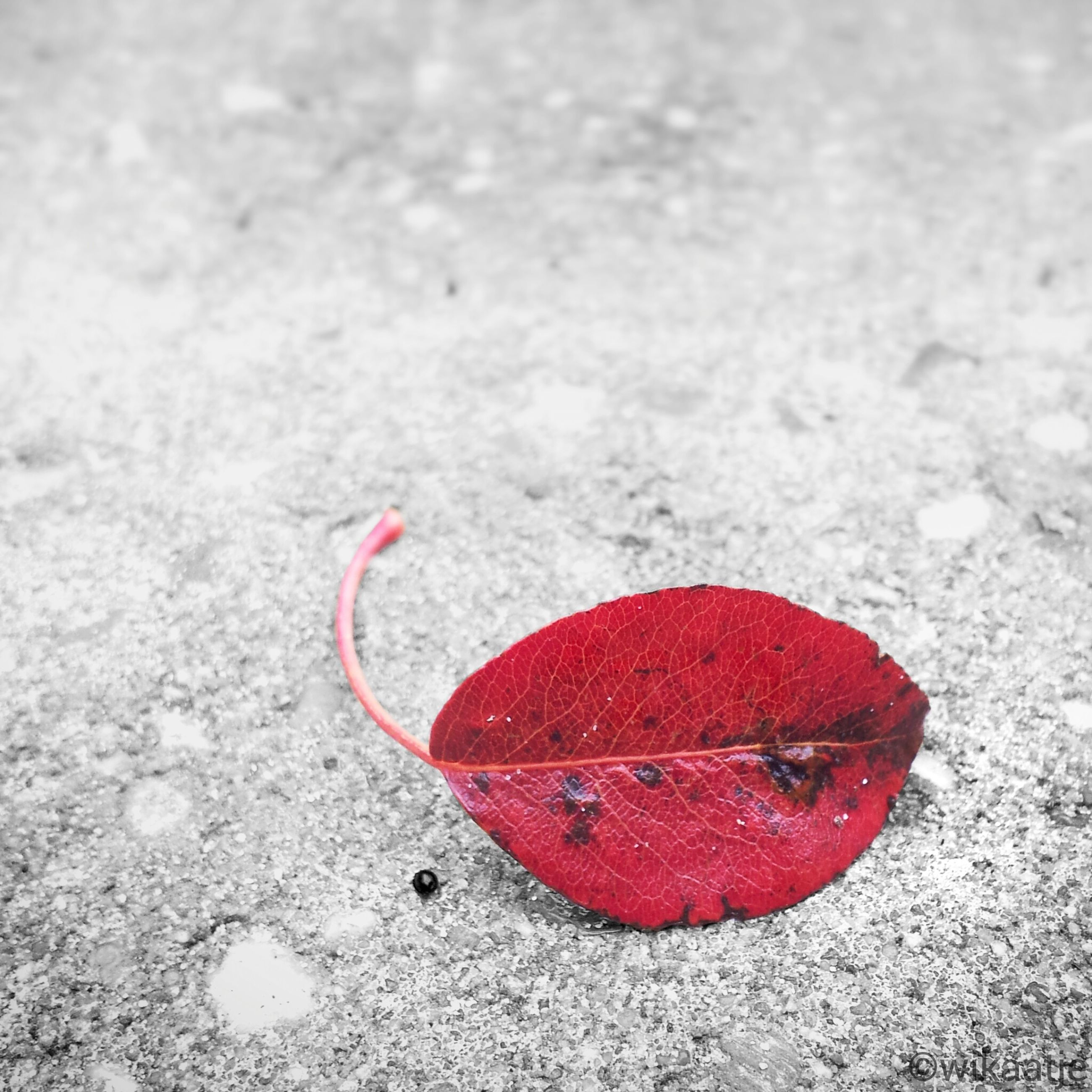 red, close-up, high angle view, ground, leaf, street, no people, still life, single object, day, textured, nature, outdoors, heart shape, asphalt, pink color, autumn, road, dry, fallen