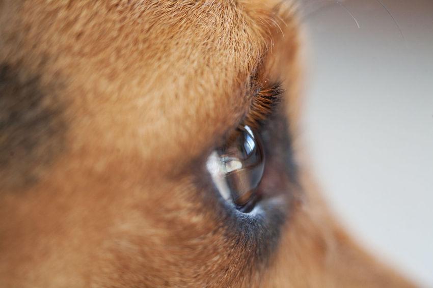 Dogs Macro Photography Animal Body Part Animal Head  Animal Themes Close-up Day Dog Dog Eye Domestic Animals Eye Eyeball Eyelash Indoors  Macro Mammal No People One Animal Pets Portrait Sensory Perception