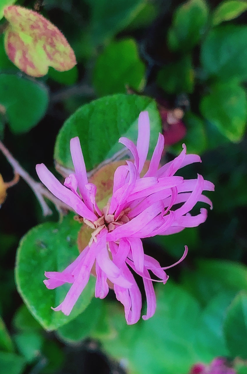 flower, flowering plant, plant, freshness, vulnerability, beauty in nature, fragility, close-up, petal, growth, pink color, flower head, inflorescence, focus on foreground, nature, no people, day, selective focus, leaf, outdoors, pollen, purple