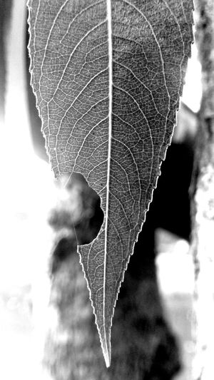 Leaf Season  Nature Close-up No People Day Outdoors Fragility Monochrome Mood Autumn Leaves Blackandwhite Black And White Dryleaves B&w Tree Beauty In Nature First Eyeem Photo Sony Xperia V Sony Lt25i EyeEm New Here