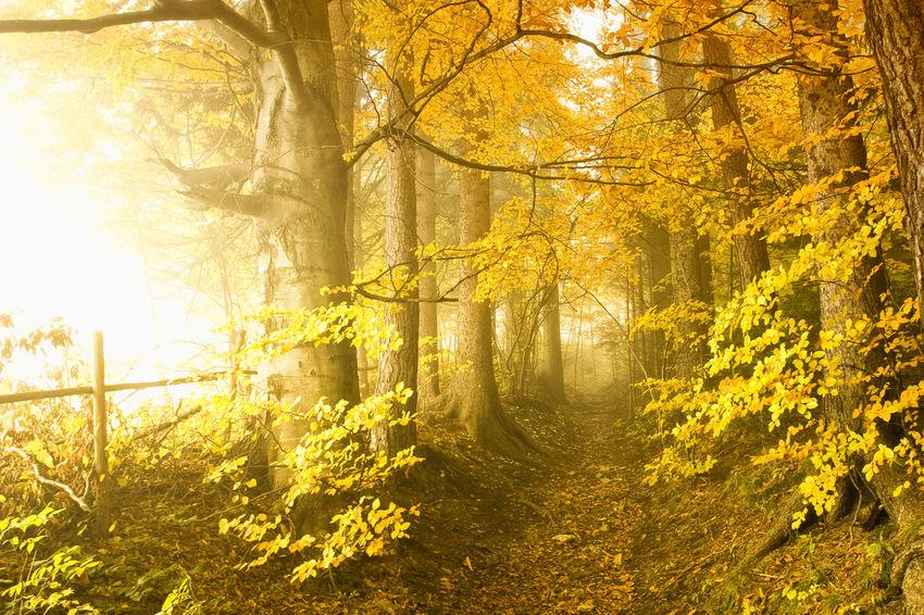 Autumn Beauty In Nature Fog Forest Leaf Morning Nature Scenics Sun Sunbeam Sunlight Tree Vibrant Color Wilderness Area Yellow