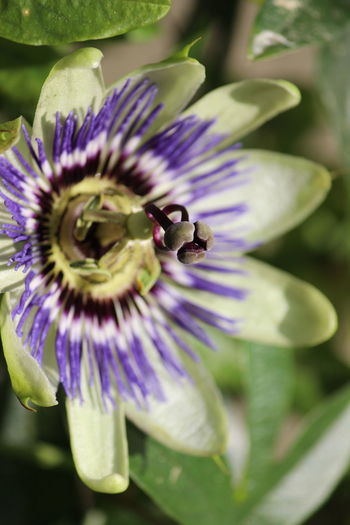 Flower Flowering Plant Beauty In Nature Plant Fragility Vulnerability  Petal Freshness Growth Flower Head Purple Close-up Inflorescence Pollen Passion Flower Insect Nature No People Day Pollination