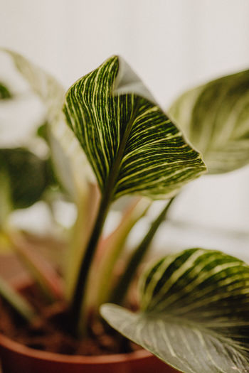 Plants collection in small millenials' rental flat, philodendron birkin