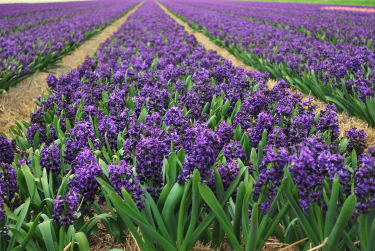 Agriculture Beauty In Nature Crocus Day Farm Field Flower Freshness Growth Holland Holland Fried Landscape Lavender Lavender Colored Nature No People Outdoors Plant Purple Rural Scene Scenics Scented