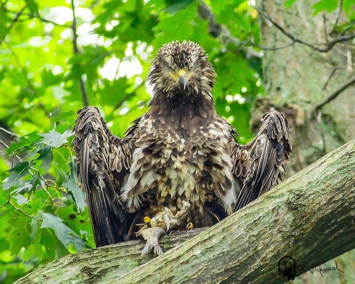 Showcase March Bald Eagle Animals In The Wild Perching Feather  Alertness Wildlife Eagle Bird Wild Bird Juvinile