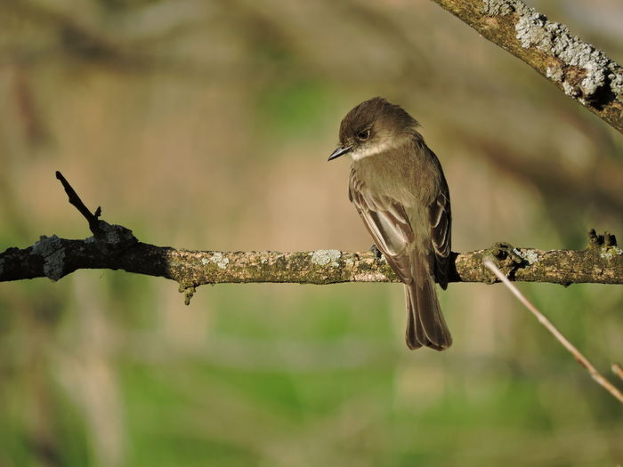 Sparrow Selective Focus Twig Outdoors Close-up Nature No People Day Plant Tree Branch Focus On Foreground Perching Animals In The Wild One Animal Bird Animal Themes Animal Animal Wildlife Vertebrate Eastern Phoebe