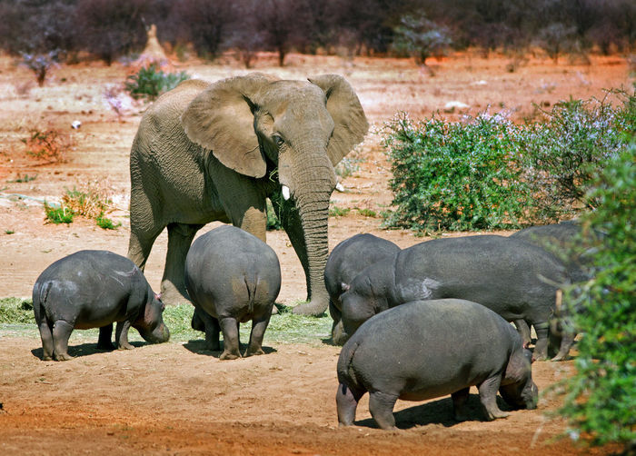 African Elephant With Hippopotamuses On Field At Etosha National Park