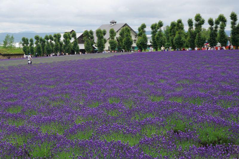 Hill Lavender Colored Blossom Flowers Lavender Field Plant Tree Growth Flower Purple Nature Landscape