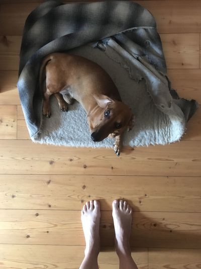 Low section of person with dog on hardwood floor
