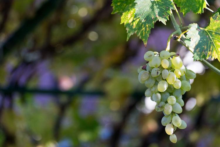 Close-Up Of Grape On Vine