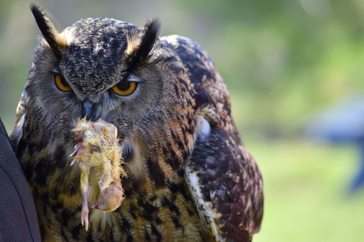 Close-Up Of Eagle Owl With Prey