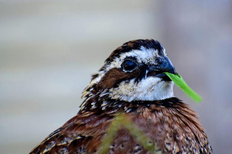 Close-up of bobwhite quail