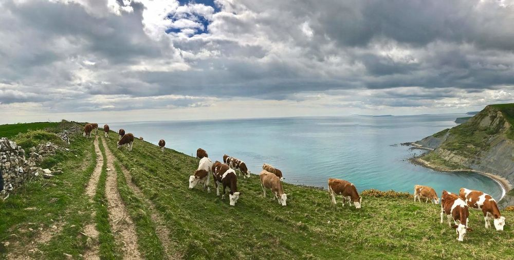 Cloud - Sky Domestic Animals Animal Themes Outdoors Livestock Landscape Nature Togetherness Large Group Of Animals Mammal Day Sky Tree Grass Water Beauty In Nature People Purbecks Dorset, England Beauty In Nature Sea Nature Scenics Cows In Grassland Cows Grazing cows