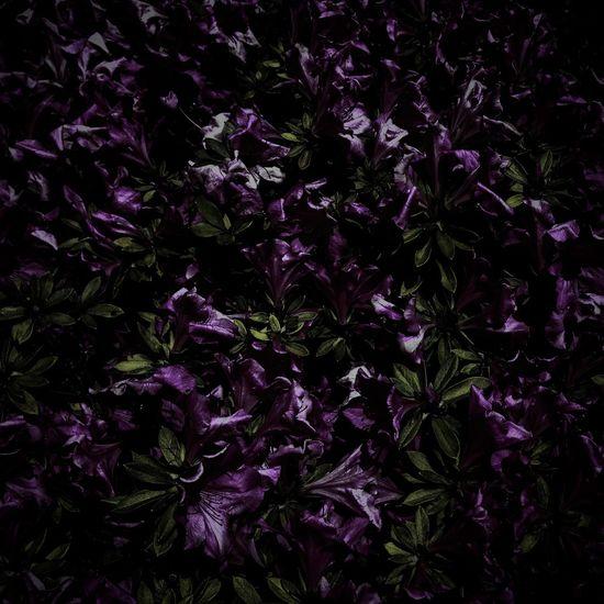 Flowers Azalea