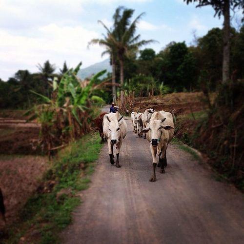 Ipad Sumedang Jabar INDONESIA bongkok sapi cow