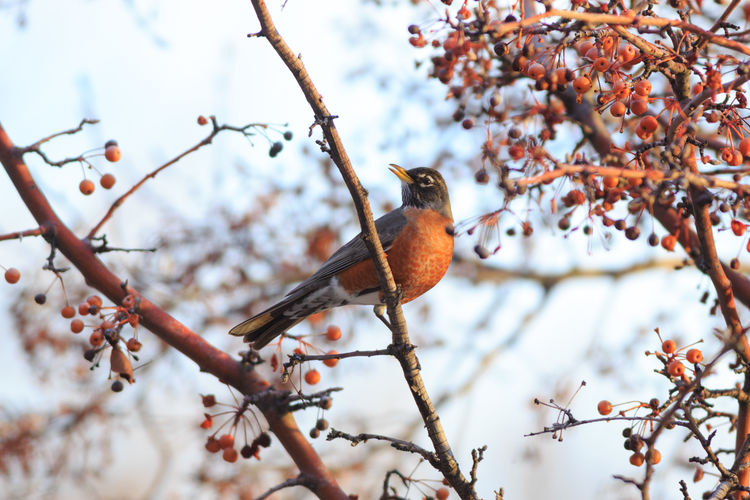 Robin in winter American Robin Bird Tree Nature Perching Branch Animals In The Wild Wildlife Berries On A Branch Birds And Berries Animals Cute Animals Outdoors EyeEm Best Shots - Nature