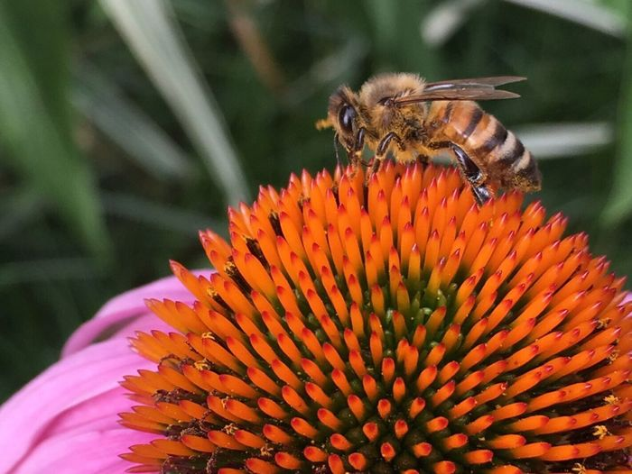 Bee HoneyBee Coneflower Flower And Bee Coneflower And Bee Bee Close Up Bee Close-up Flower Head