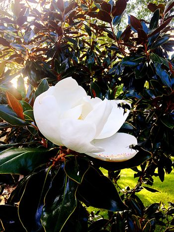 Bumblebeesonflowers Iphone6 White Flower