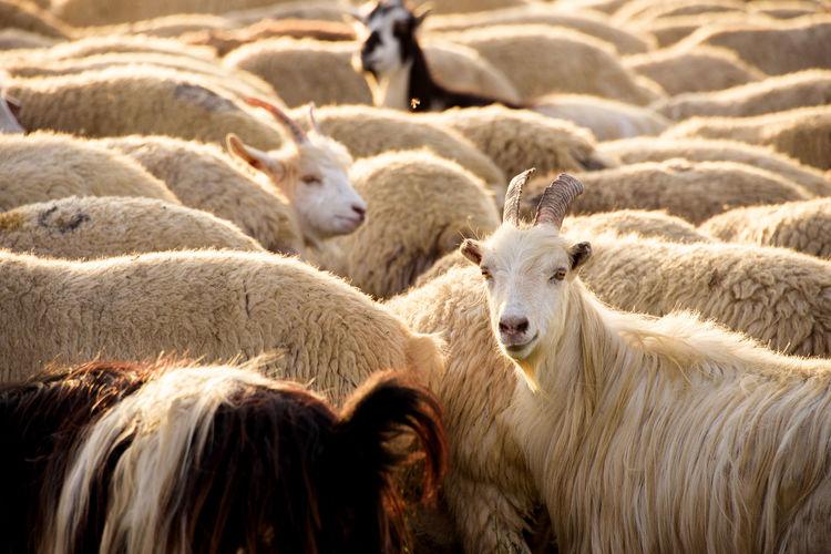 Sheep of