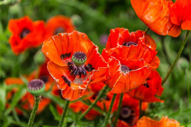 Close-up of orange poppy flowers