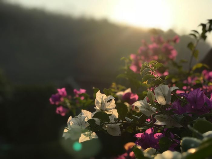 ❤️❤️❤️❤️ Flower Flowering Plant Plant Beauty In Nature Growth Vulnerability  Fragility Nature Close-up Petal Flower Head Sunlight Selective Focus Inflorescence No People Focus On Foreground Day Pink Color Freshness Outdoors #urbanana: The Urban Playground